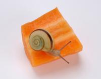 ニンジンを食べるツクシマイマイ 32137000048| 写真素材・ストックフォト・画像・イラスト素材|アマナイメージズ