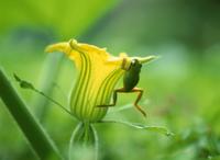 カボチャの花にぶらさがるニホンアマガエル(アマガエル)