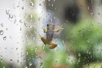 雨粒のついたガラス面を移動するニホンアマガエル(アマガエル) 32137000994| 写真素材・ストックフォト・画像・イラスト素材|アマナイメージズ
