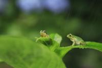 雨の日、アジサイの葉の上にいる2匹のニホンアマガエル(アマガ