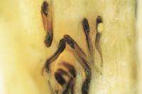 モリアオガエルのオタマジャクシ(泡巣の中)