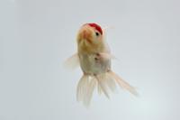 金魚(タンチョウ)