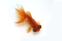 金魚(赤出目金)