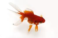 金魚(流金)