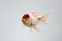 金魚(丹頂)
