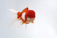 金魚(オランダ獅子頭)