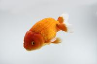 金魚(らんちゅう)