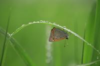 葉裏で雨宿りをするベニシジミ