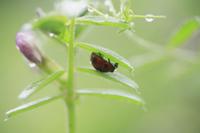 葉裏で雨宿りをするナナホシテントウ