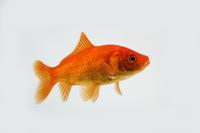 金魚(ヒブナ)