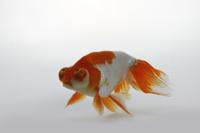 金魚(頂天眼)
