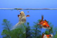 金魚(琉金) 食べる