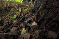 ツクシマイマイ 雨上がり、隠れる 32137002566  写真素材・ストックフォト・画像・イラスト素材 アマナイメージズ