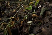 ツクシマイマイ 雨上がり、隠れる 32137002568  写真素材・ストックフォト・画像・イラスト素材 アマナイメージズ
