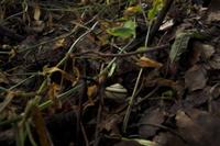 ツクシマイマイ 雨上がり、隠れる 32137002569  写真素材・ストックフォト・画像・イラスト素材 アマナイメージズ