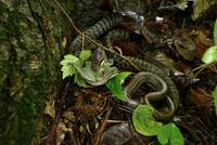 シマヘビの捕食