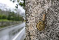 雨の日のカタツムリ 32137004517  写真素材・ストックフォト・画像・イラスト素材 アマナイメージズ