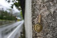 雨の日のカタツムリ 32137004518  写真素材・ストックフォト・画像・イラスト素材 アマナイメージズ