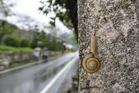 雨の日のカタツムリ 32137004524  写真素材・ストックフォト・画像・イラスト素材 アマナイメージズ