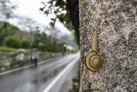 雨の日のカタツムリ 32137004525  写真素材・ストックフォト・画像・イラスト素材 アマナイメージズ