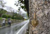 雨の日のカタツムリ 32137004526  写真素材・ストックフォト・画像・イラスト素材 アマナイメージズ