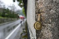 雨の日のカタツムリ 32137004527  写真素材・ストックフォト・画像・イラスト素材 アマナイメージズ