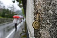 雨の日のカタツムリ 32137004534  写真素材・ストックフォト・画像・イラスト素材 アマナイメージズ