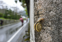 雨の日のカタツムリ 32137004535  写真素材・ストックフォト・画像・イラスト素材 アマナイメージズ