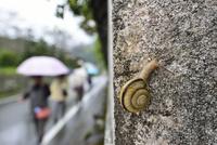 雨の日のカタツムリ 32137004537  写真素材・ストックフォト・画像・イラスト素材 アマナイメージズ