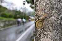 雨の日のカタツムリ 32137004546  写真素材・ストックフォト・画像・イラスト素材 アマナイメージズ