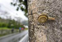 雨の日のカタツムリ 32137004548  写真素材・ストックフォト・画像・イラスト素材 アマナイメージズ