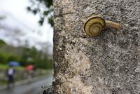 雨の日のカタツムリ 32137004554  写真素材・ストックフォト・画像・イラスト素材 アマナイメージズ