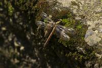 羽化直後のヒメクロサナエ