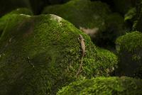 ニホンカナヘビの日光浴