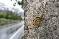 雨の日のカタツムリ 32137004832  写真素材・ストックフォト・画像・イラスト素材 アマナイメージズ