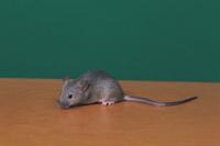 ハツカネズミの遺伝子実験:灰色(yy) 32141000024| 写真素材・ストックフォト・画像・イラスト素材|アマナイメージズ