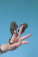 人の指にとまらせたピグミーマーモセットの子 32141000047| 写真素材・ストックフォト・画像・イラスト素材|アマナイメージズ