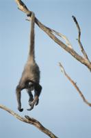 尾を枝にまきつけてぶら下がるクモザルの仲間