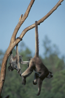 尾を木に巻き付けてぶら下がるクモザルの仲間の親子 32141000101| 写真素材・ストックフォト・画像・イラスト素材|アマナイメージズ
