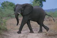 歩くアフリカゾウ 32141000117| 写真素材・ストックフォト・画像・イラスト素材|アマナイメージズ
