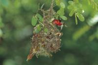 巣作り中のアカガシラモリハタオリ