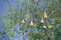 木からぶらさがったノドグロキハタオリの吊り巣