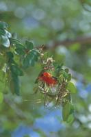 巣作りするアカガシラモリハタオリ