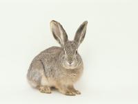 ヤブノウサギ 32141000473| 写真素材・ストックフォト・画像・イラスト素材|アマナイメージズ