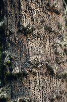 ドングリキツツキに貯蔵用のドングリを埋められた木
