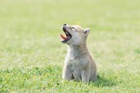 柴犬の子のあくび