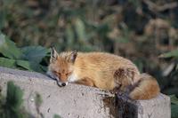 眠るキタキツネ
