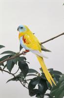 ヒムネキキョウ 色変種 32141001200| 写真素材・ストックフォト・画像・イラスト素材|アマナイメージズ