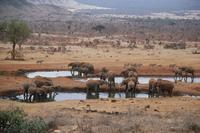アフリカゾウ 水場にて