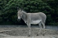 ソマリノロバ(アフリカノロバの一亜種)